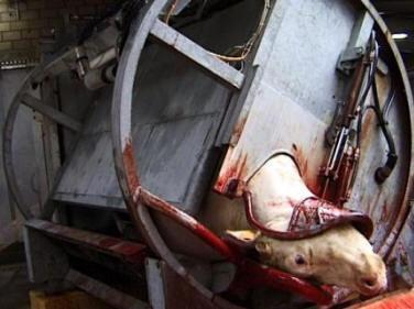 La sangre molesta al ganado?