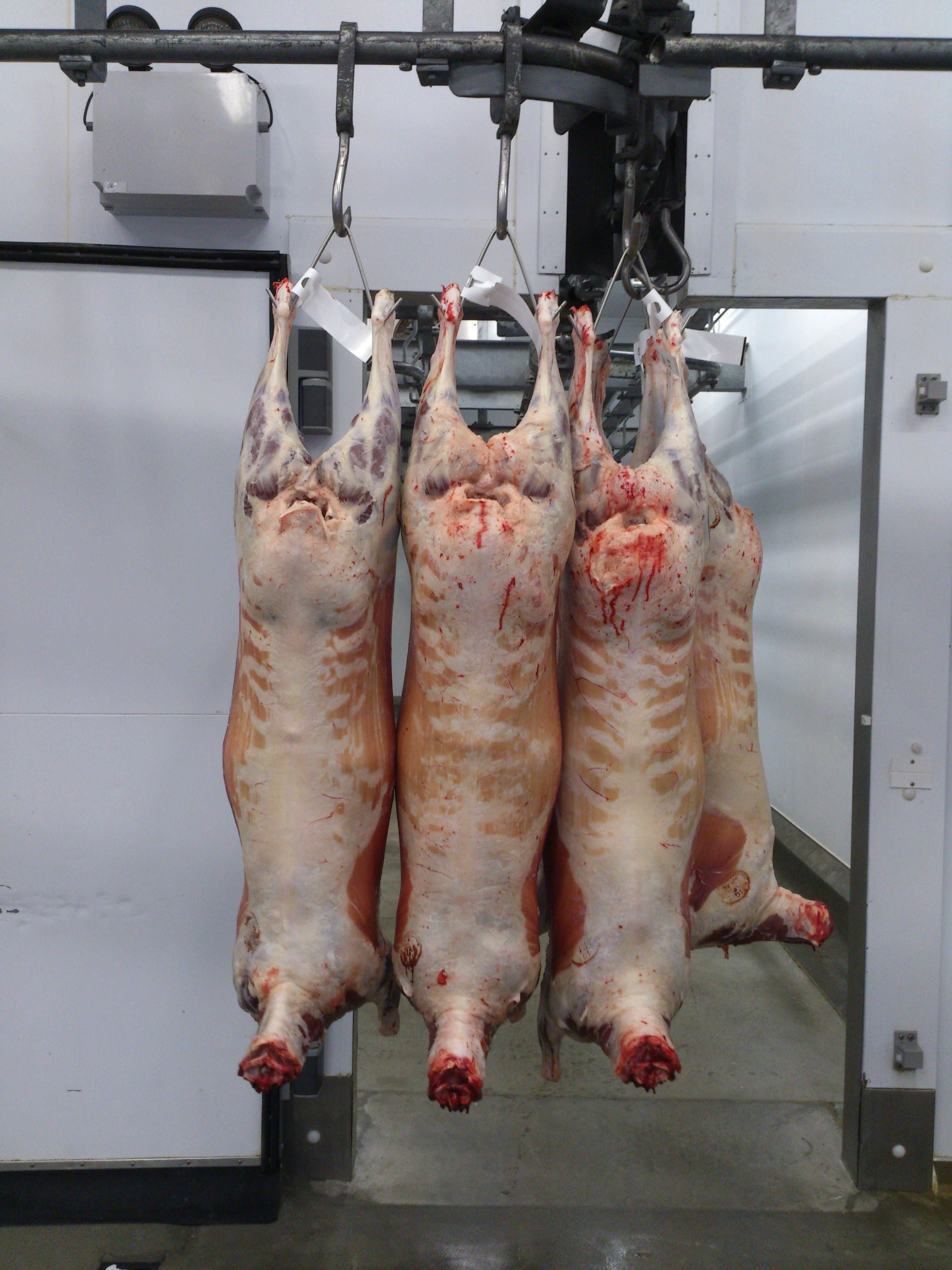 Chilehalal Sacrificó 3800 corderos en America del Sur para la exportación.